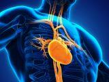 Ilustração de anatomia de coração.