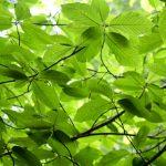 Planta Cáscara sagrada ainda em árvore,